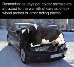 colder-cow-on-car